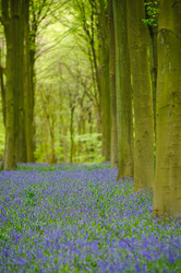 Line of trees in Micheldever Wood
