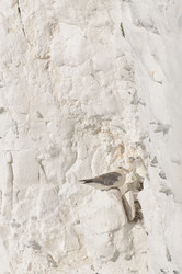 Seagull's nest on the cliff's face