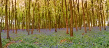 iPhone photo of the bluebells in Micheldever Wood
